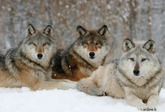 Beautiful, powerful wolves!